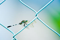 Dragonfly on Fence Royalty Free Stock Image