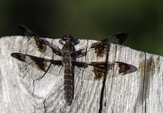 Dragonfly On A Fence Post. Close up Royalty Free Stock Images