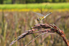 Dragonfly. In field organic rice hunter pest insects Royalty Free Stock Photography