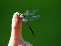 Dragonfly on a finger Royalty Free Stock Photo