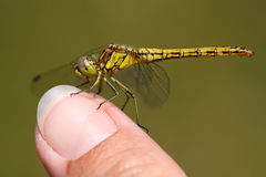 Dragonfly on finger. Beautiful yellow dragonfly on finger Stock Photography