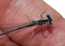 Dragonfly on finger. Dragonfly creeps on a finger Stock Image