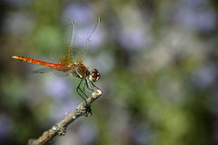 Big red Dragonfly Closeup  Royalty Free Stock Photos