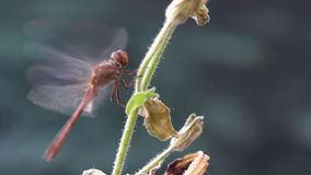 Dragonfly flapping wings