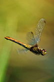 A dragonfly in flight. Dragonflies (lat. Odonata) — a team of well-flying predatory insects. Relatively large, with movable head, large eyes, short antennae Royalty Free Stock Image