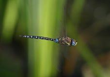Dragonfly in flight - Migrant hawker. Migrant hawker - Aeshna mixta - flying stock photo