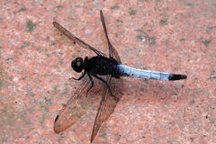 A dragonfly on the floor Royalty Free Stock Photo