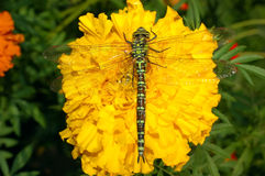 Dragonfly on a flower. Dragonfly on a yellow flower Stock Image