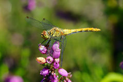 Dragonfly on a flower Stock Images