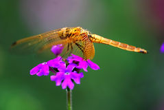Dragonfly on the flower Royalty Free Stock Photos