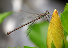 Dragonfly on flower Stock Image