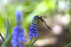 Dragonfly on Flower. A brown Dragonfly on a beautiful blue flower royalty free stock photography