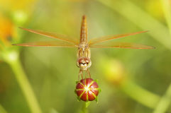 Dragonfly on flower bud. Dragonfly is standing on the flower bud Stock Image