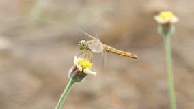Dragonfly on flower stock video