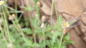Dragonfly on flower stock footage