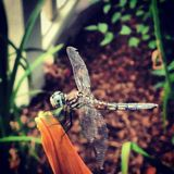 Dragonfly in Garden Stock Photo
