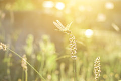Dragonfly and flower grass with evening sun Stock Image