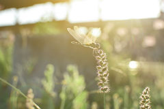 Dragonfly and flower grass with evening sun Royalty Free Stock Image