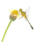 Dragonfly on flower Royalty Free Stock Photography