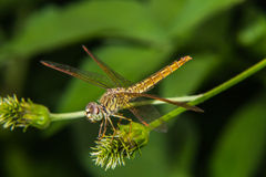 Dragonfly on a flower Royalty Free Stock Photo