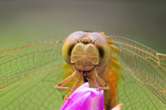 Dragonfly on flower Royalty Free Stock Photo
