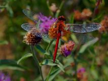 Dragonfly on flower meadow thistles Stock Images