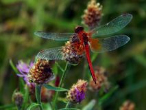 Dragonfly on flower meadow thistles Stock Photo