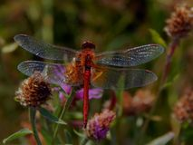 Dragonfly on flower meadow thistles Stock Image