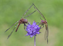 Dragonfly on flower in the nature. Royalty Free Stock Photo