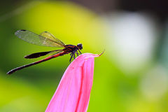 Dragonfly on flower petal. A Dragonfly which spreading its wings on flower petal royalty free stock photography