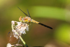 Dragonfly on flower Stock Photography