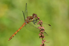 Dragonfly royalty free stock photography