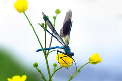 Dragonfly on a flower on a spring meadow Stock Photo