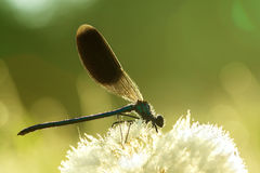 Dragonfly on a flower on a spring meadow Stock Image