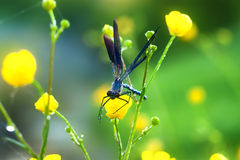 Dragonfly on a flower on a spring meadow Royalty Free Stock Photos