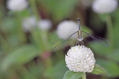 Dragonfly and flower Royalty Free Stock Photo