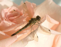 Dragonfly on flower up view closeup Royalty Free Stock Images