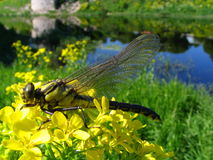 Dragonfly on a flowers. In park near the river Royalty Free Stock Photos