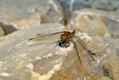 Dragonfly and fly. The dragonfly eating the fly on a stone surface Royalty Free Stock Photos