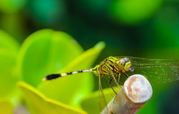 Dragonfly fly greet the morning. This is my first macro photo, taken in my backyard Stock Image