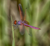 Dragonfly fly macro photography. Dragonfly resting on a blade of grass Stock Images