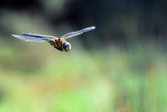 Dragonfly flying Stock Image