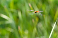 Dragonfly flying Stock Photos