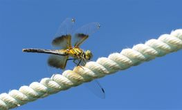 Dragonfly flying high on a rope. royalty free stock photos