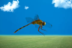 Dragonfly, flying Royalty Free Stock Images