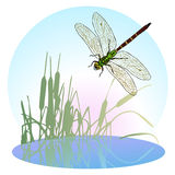 Dragonfly flying over a pond overgrown with reeds. Life is flying predatory insects. Vector. Children's illustration royalty free illustration