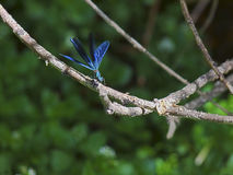 Dragonfly Flying Start Royalty Free Stock Photos