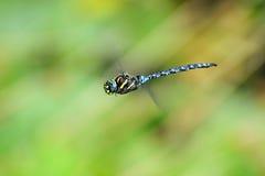 Dragonfly flying Royalty Free Stock Photo