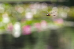 Dragonfly flying in a Zen garden stock images