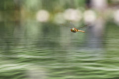 Dragonfly flying in a zen garden stock photography